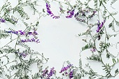 Floral frame made of wild flowers on white background. Summer concept. Flat lay, top view. Floral design and purple flowers arrangement . Mouse pea. Vetch multicolor (Vicia cracca)