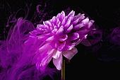 물 (자연현상), 파장, 파문 (물체묘사), 백그라운드, 패턴, 물결, 방울 (액체), 잉크, 페인트 (예술도구), 모션, 활력, 수채물감, 추상, 미술 (미술과공예), 번짐, 재질 (물체묘사), 컬러, 꽃, 식물, 보라, 꽃잎