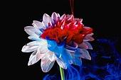 물 (자연현상), 파장, 파문 (물체묘사), 백그라운드, 패턴, 물결, 방울 (액체), 잉크, 페인트 (예술도구), 모션, 활력, 수채물감, 추상, 미술 (미술과공예), 번짐, 재질 (물체묘사), 컬러, 꽃, 식물, 파랑, 빨강, 꽃잎