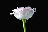 오브젝트 (묘사), 백그라운드, 패턴, 검정배경, 재질 (물체묘사), 장미, 꽃, 식물, 꽃잎