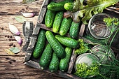 Fresh cucumbers for pickling. Seasonal preservation of fresh cucumbers for the winter