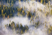 Beautiful mountain coniferous forests covering with a lot of fog. Misty spruce and pine woodland