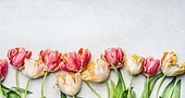 Beautiful tulips with water drops, floral border, top view. Spring flowers concept