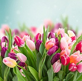 bunch of pink tulips on blue sky background. bunch of pink tulips