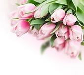 bunch of  pink   tulips  on white background. pink   tulips