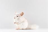 쥐띠해 (십이지신), 새해 (홀리데이), 쥐 (쥐류), 쥐류 (포유류), 실험쥐 (쥐), 친칠라, 2020년, 쥐띠해, 사진