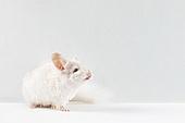 쥐띠해 (십이지신), 새해 (홀리데이), 쥐 (쥐류), 쥐류 (포유류), 친칠라, 2020년, 쥐띠해, 사진