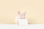 2020년, 2020, 새해 (홀리데이), 실험쥐, 쥐 (쥐류), 쥐띠해 (십이지신), 쥐류, 화이트보드 (시각교재)