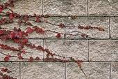 백그라운드, 계절, 가을, 식물, 잎, 낙엽, 풍경 (컨셉), 사람없음, 담장배경 (경계선), 단풍잎 (잎), 단풍철 (가을), 덩굴식물 (식물)