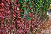 백그라운드, 계절, 가을, 식물, 잎, 낙엽, 풍경 (컨셉), 사람없음, 담장배경 (경계선), 길, 단풍철 (가을), 단풍잎 (잎), 덩굴식물 (식물)