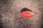 가을, 가을 (계절), 백그라운드, 단풍나무 (낙엽수), 단풍철 (가을), 단풍잎 (잎), 낙엽