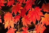 가을, 가을 (계절), 계절, 감성, 백그라운드, 낙엽, 단풍철 (가을), 단풍잎 (잎), 11월, 빨강 (색상)