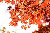 가을, 가을 (계절), 계절, 단풍나무 (낙엽수), 단풍철 (가을), 단풍잎 (잎), 자연 (주제), 빨강 (색상)
