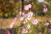 가을, 가을 (계절), 코스모스, 코스모스 (온대성꽃), 꽃, 식물, 공원
