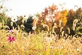 가을, 가을 (계절), 감성, 백그라운드, 강아지풀