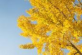 가을, 가을 (계절), 계절, 단풍나무 (낙엽수), 단풍철 (가을), 단풍잎 (잎), 단풍길, 낙엽관목, 낙엽, 은행잎, 은행나무, 노랑색 (색상)
