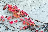 가을, 가을 (계절), 계절, 단풍철 (가을), 단풍잎 (잎), 단풍잎, 담쟁이 (Creeper Plant), 덩굴손 (식물부분)