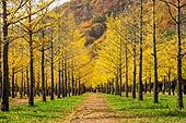 홍천 은행나무숲