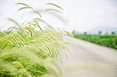 자연풍경 (교외전경), 강아지풀, 시골풍경, 풀 (식물)