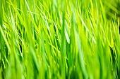 벼, 벼과식물, 농업 (주제), 농업, 논, 경작지 (육지)