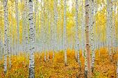 원대리 자작나무숲