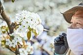배나무, 배꽃, 과수원, 농업 (주제), 농부 (농촌직업), 농장근로자 (농촌직업), 농업, 과수 (낙엽수), 시골풍경 (교외전경), 원예학, 원예 (레저활동)