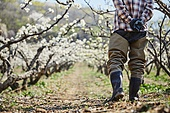 배나무, 배꽃, 과수원, 농업 (주제), 농부 (농촌직업), 농장근로자 (농촌직업), 농업, 과수 (낙엽수), 시골풍경 (교외전경)