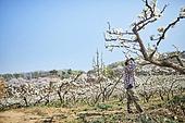 배나무, 배꽃, 과수원, 농업 (주제), 농부 (농촌직업), 농장근로자 (농촌직업), 농업, 과수 (낙엽수), 시골풍경 (교외전경), 인공수정, 원예 (레저활동)