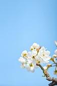 꽃, 배꽃, 과수원, 배나무