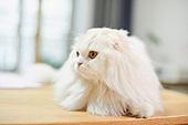 고양이 (고양잇과), 반려동물 (길든동물), 고양잇과 (발톱포유류), 하이랜드폴드