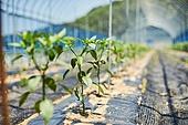 채소밭, 고추, 농업, 유기농, 농업 (주제)