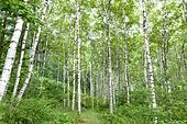 숲, 자작나무, 풍경 (컨셉), 산림욕