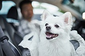 반려동물 (길든동물), 애완견 (개), 펫시트 (카시트), 반려동물, 강아지, 개 (개과), 폼피츠, 애완견