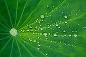 연잎,녹색,식물,수생식물,여름,호수,물방울,물,투명,신구대학교식물원,식물원,정원,식물,풍경,풍경[경치],클로즈업,실외,성남시,경기도,한국,국내여행,