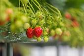 딸기,한국,국내여행,수확,농촌,농업,과수원,농장,실내,비닐하우스,과일,채소,경작,신선,