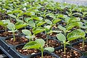 참외,채소,녹색,신선,모종,새싹,실외,논밭,밭,농촌,농업,음식,정물,클로즈업,