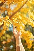 가을, 가을 (계절), 11월, 단풍철, 단풍나무, 은행나무, 은행나무 (낙엽수), 은행잎 (잎)