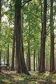메타세쿼이아 (나무), 나무, 공원, 숲