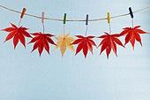 가을,계절,나뭇잎,누끼,다수,단풍,단풍잎,매달리기,식물,실내,잎,자연,줄,집게,클로즈업,파란색,배경