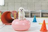 강아지, 반려동물 (길든동물), 훈련, 도그워커 (직업), 시바이누 (순종개), 기다림 (정지활동), 균형 (컨셉)