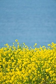 봄, 봄 (계절), 유채꽃 (식물), 유채꽃, 꽃, 풍경 (컨셉), 아름다움 (주제), 제주시 (제주도), 제주도 (대한민국), 국내여행