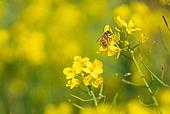 봄, 봄 (계절), 유채꽃 (식물), 유채꽃, 꽃, 풍경 (컨셉), 아름다움 (주제), 제주시 (제주도), 제주도 (대한민국), 국내여행, 벌 (곤충), 꿀벌