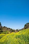 봄, 봄 (계절), 유채꽃 (식물), 유채꽃, 꽃, 풍경 (컨셉), 아름다움 (주제), 제주시 (제주도), 제주도 (대한민국), 국내여행, 엉덩물계곡