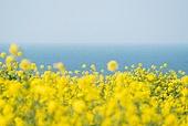 봄, 유채꽃, 유채꽃 (식물), 봄 (계절), 제주시 (제주도), 제주도 (대한민국), 국내여행, 꽃, 꽃밭