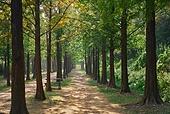숲, 숲속 (산림지역), 자연, 환경, 메타세쿼이아 (나무)