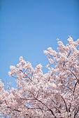 벚꽃, 벚꽃 (화목류), 벚나무 (과수), 벚꽃축제, 꽃, 봄, 봄 (계절), 분홍 (색), 4월, 꽃 (식물)