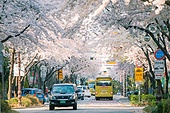 벚꽃, 벚꽃 (화목류), 벚나무 (과수), 벚꽃축제, 꽃, 봄, 봄 (계절), 분홍 (색), 서울 (대한민국), 4월, 꽃 (식물)