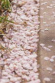 벚꽃, 벚꽃 (화목류), 벚나무 (과수), 벚꽃축제, 꽃, 봄, 봄 (계절), 분홍 (색), 4월, 꽃 (식물), 떨어짐 (내려가기)