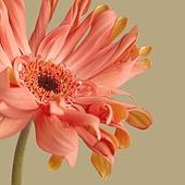 백그라운드, 꽃, 봄, 거베라 (온대성꽃), 스틸라이프 (콤퍼지션)