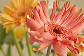 백그라운드, 꽃, 봄, 거베라 (온대성꽃), 스틸라이프 (콤퍼지션), 꽃다발
